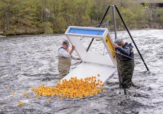 Men in waders dumping rubber ducks into the river for the annual duck race